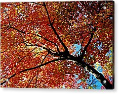 Maple Tree In Autumn Glow Acrylic Print by Juergen Roth