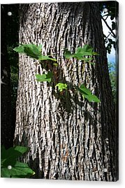 Maple Trunk Acrylic Print by Ken Day