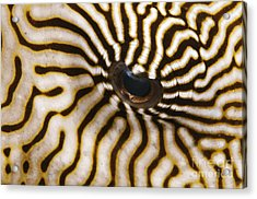 Mappa Pufferfish Eye Acrylic Print by Steve Rosenberg - Printscapes
