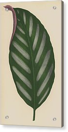 Maranta Porteana Acrylic Print by English School