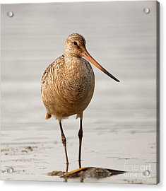 Marbled Godwit - Beauty Acrylic Print
