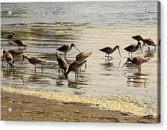 Marbled Godwit Birds At Sunset Acrylic Print by Christine Till