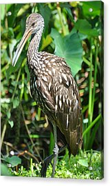Marbled Godwit Portrait Acrylic Print by Rose  Hill