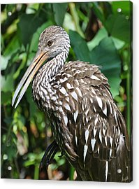 Marbled Godwit Acrylic Print by Rose  Hill