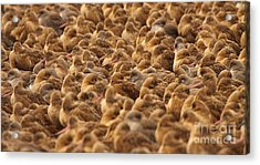 Marbled Godwit Trying To Stick Out From The Flock Acrylic Print by Max Allen
