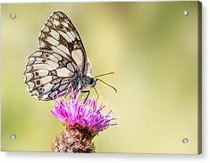 Marbled White Butterfly Acrylic Print by Ian Hufton