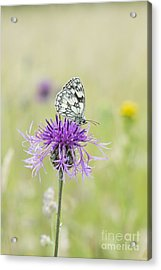 Marbled White Butterfly Acrylic Print by Tim Gainey