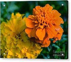 Marigold 1 Acrylic Print
