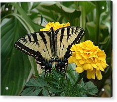 Marigold And Butterfly Acrylic Print by Emerald GreenForest
