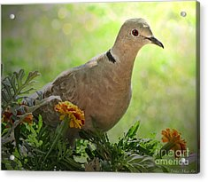 Acrylic Print featuring the photograph Marigold Dove by Debbie Portwood