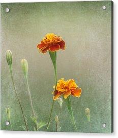 Marigold Fancy Acrylic Print by Kim Hojnacki