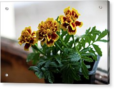 Marigold In Winter Acrylic Print by Jeff Severson