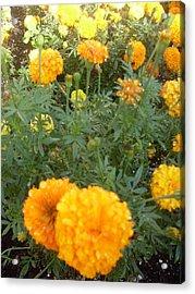 Marigold Light Acrylic Print by Warren Thompson