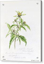 Marigold Acrylic Print by WJ Linton