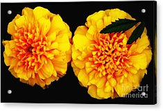 Marigolds With Oil Painting Effect Acrylic Print by Rose Santuci-Sofranko