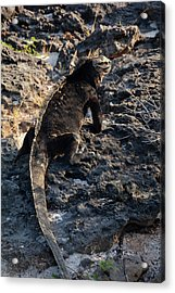 Marine Iguana, Amblyrhynchus Cristatus Acrylic Print