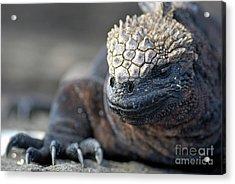 Marine Iguana Acrylic Print by Sami Sarkis