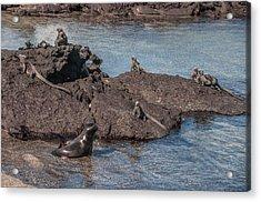 Marine Iguanas And Sealion Pup At Punta Espinoza Fernandina Island Galapagos Islands Acrylic Print