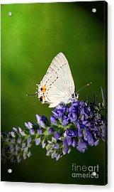 Marius Hairstreak Butterfly Acrylic Print by Jeannie Burleson