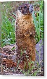 Marmot Love Acrylic Print by Naman Imagery