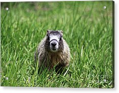 Marmot Pup Acrylic Print by Alyce Taylor