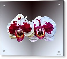 Maroon And White Phalaenopsis Orchids Side By Side Acrylic Print by Susan Savad
