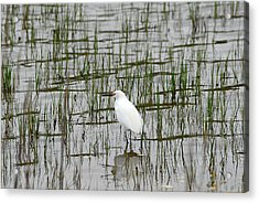 Marsh Bird 1 Acrylic Print