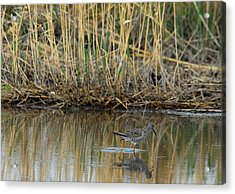 Marsh Bird 2 Acrylic Print