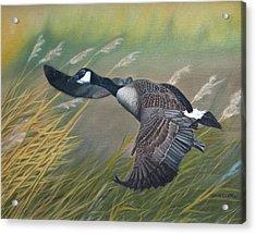 Marsh Goose Acrylic Print