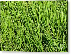 Marsh Grasses Acrylic Print