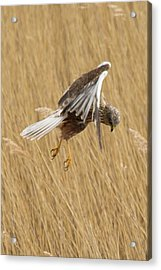 Marsh Harrier Hunting Acrylic Print