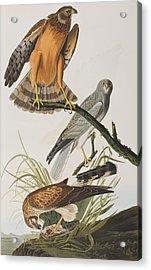 Marsh Hawk Acrylic Print