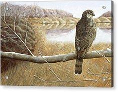 Marsh Hawk Acrylic Print by Laurie Stewart