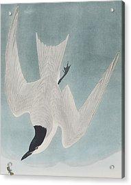 Marsh Tern Acrylic Print