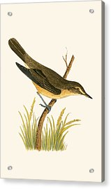 Marsh Warbler Acrylic Print