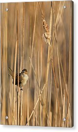 Marsh Wren Acrylic Print by Bill Wakeley