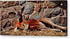Marsupial Centerfold Acrylic Print by Lori Tambakis