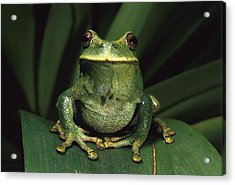 Marsupial Frog Gastrotheca Orophylax Acrylic Print by Pete Oxford