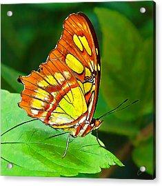 Marvelous Malachite Butterfly Acrylic Print by ABeautifulSky Photography