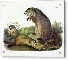 Maryland Marmot, Woodchuck, Groundhog Acrylic Print