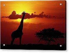 Masai Giraffe Giraffa Camelopardalis Acrylic Print by Gerry Ellis