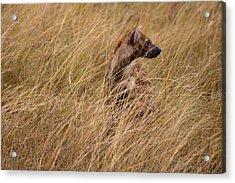 Masai Mara Hyena Acrylic Print by Paco Feria