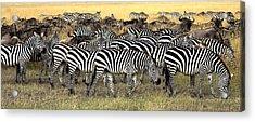 Masai Mara, Kenya Herd Of Burchells Acrylic Print by Chris Upton