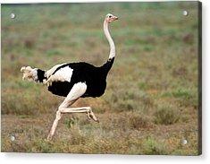 Masai Ostrich Struthio Camelus Running Acrylic Print
