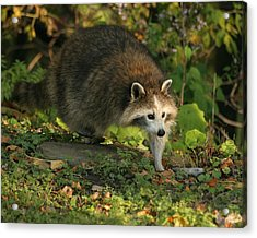 Acrylic Print featuring the photograph Maskless Raccoon by Doris Potter