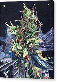 Master Kush Acrylic Print by Anita Toke