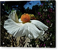 Matilija Poppy Two Acrylic Print