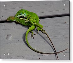 Mating Anoles Acrylic Print