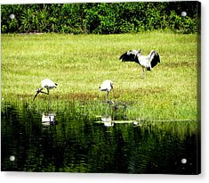 Mating Dance Acrylic Print by Terri Mills