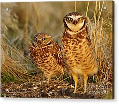 Mating Pair Of Burrowing Owls Acrylic Print by Dennis Hammer